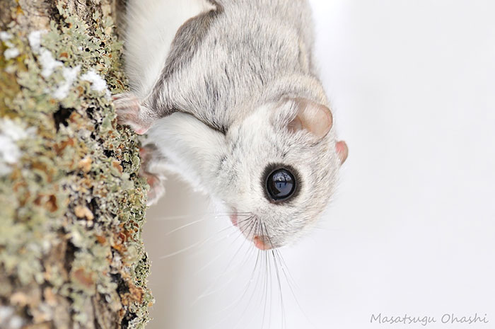 Japanese And Siberian Flying Squirrels Are The Cutest Animals On Earth